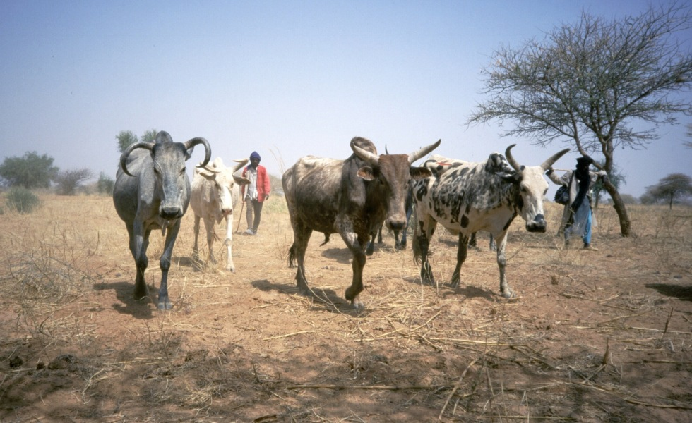 Fulani herders walking with 96 cows