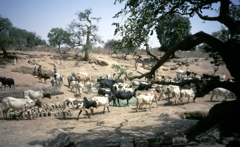 cows arriving at a watering hole
