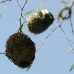 Weaver bird nests in Burkina Faso