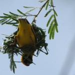 Male village weaver also known as spotted-backed weaver or black-headed weaver in Burkina Faso