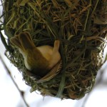village weaver bird inspecting nest