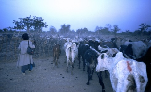 Fulani herder herds the cows into an enclosure