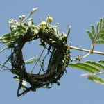 The base structure of a weaver bird nest in Burkina Faso